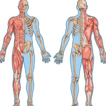 Kursi i Anatomisë Palpuese